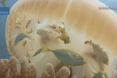 해파리 속에 숨어 사는 물고기들, 신기