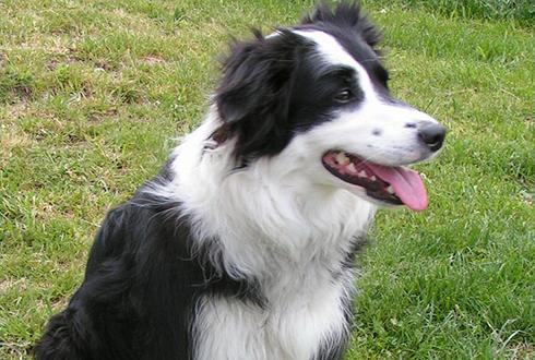머리 좋은 강아지가 더 오래 산다?