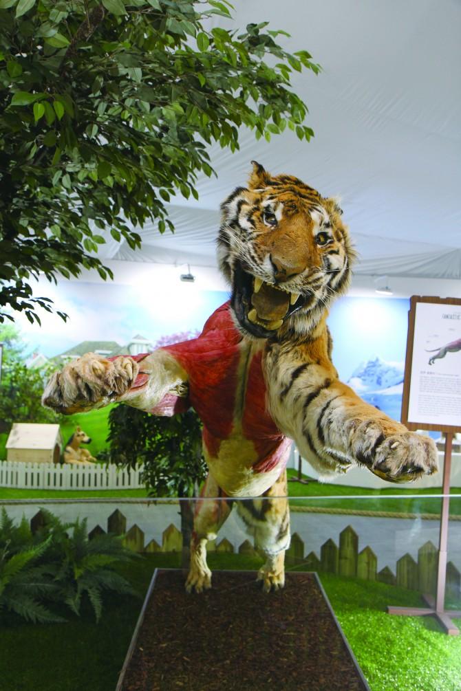 만주 호랑이 표본. - 현수랑 기자 hsr@donga.com 제공