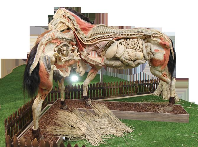 말의 근육과 뼈, 장기를 자세하게 관찰할 수 있는 표본. - 현수랑 기자 hsr@donga.com 제공