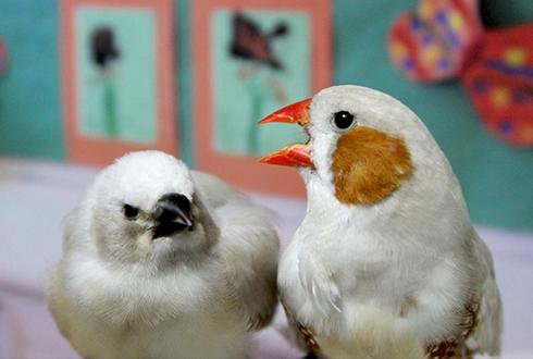사람 뺨치는 아기 새의 조기 언어 교육