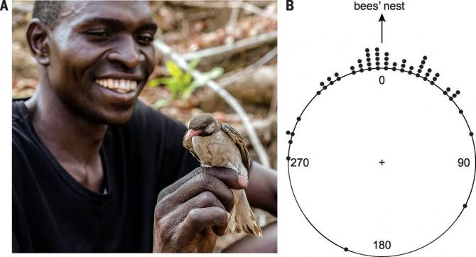 모잠비크와 남부 탄자니아에 걸쳐 사는 야오족의 한 청년이 꿀잡이새를 바라보고 있다(왼쪽). 꿀잡이새는 사람과 신호는 주고받아도 접촉하지는 않기 때문에 촬영을 위해 그물로 사로잡았다. 오른쪽은 꿀잡이새가 처음 따라오라는 신호를 보낸 방향을 표시한 것으로 최종 목적지(bee