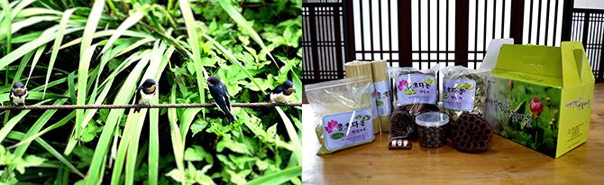 축제 준비를 지켜보는 제비들 포착!(왼쪽) 다이어트 고민이라면? 변비 때문에 고생이라면? 연잎차, 연국수, 연잎가루 등의 지역특산물을 놓치지 말길!(오른쪽) - 고종환 제공