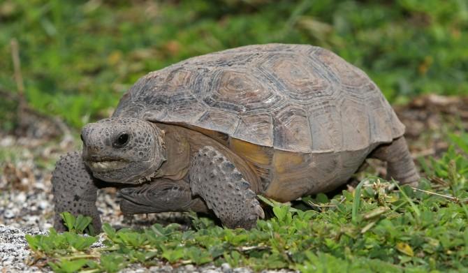 미국의 고퍼육지거북은 초식동물이다. 300여 종의 식물을 먹는다. 이들은 땅굴을 파기로 유명하다. 학계에 보고된 고퍼육지거북의 땅굴 중에는 길이 약 15m, 깊이 3m나 되는 땅굴도 있다. - www.birdphoto.com 제공