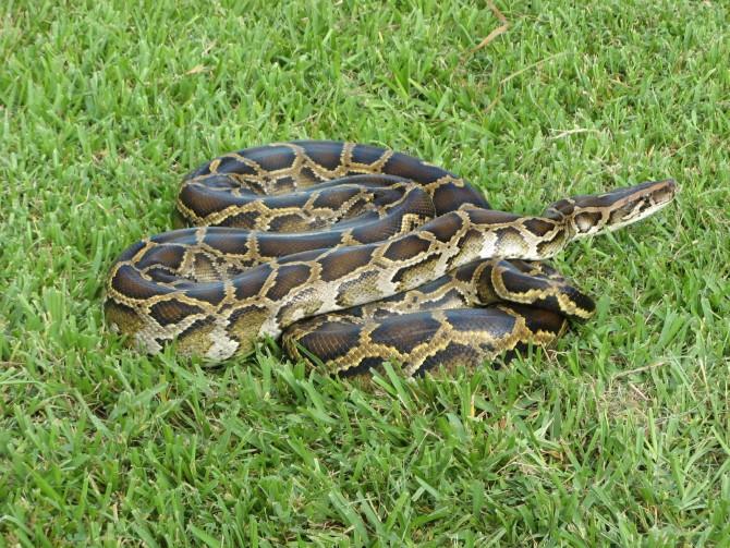 몸길이가 약 4m까지 자라는 버마비단구렁이는 반려동물로 인기가 많다. 하지만 거대한 덩치 때문에 관리가 힘들어서 버려지는 경우도 많다. 미국 플로리다 주에서는 유기된 버마비단구렁이들이 야생에 적응해버리는 바람에 '외래 침략종'으로 지정됐다. - Dolovis(W) 제공