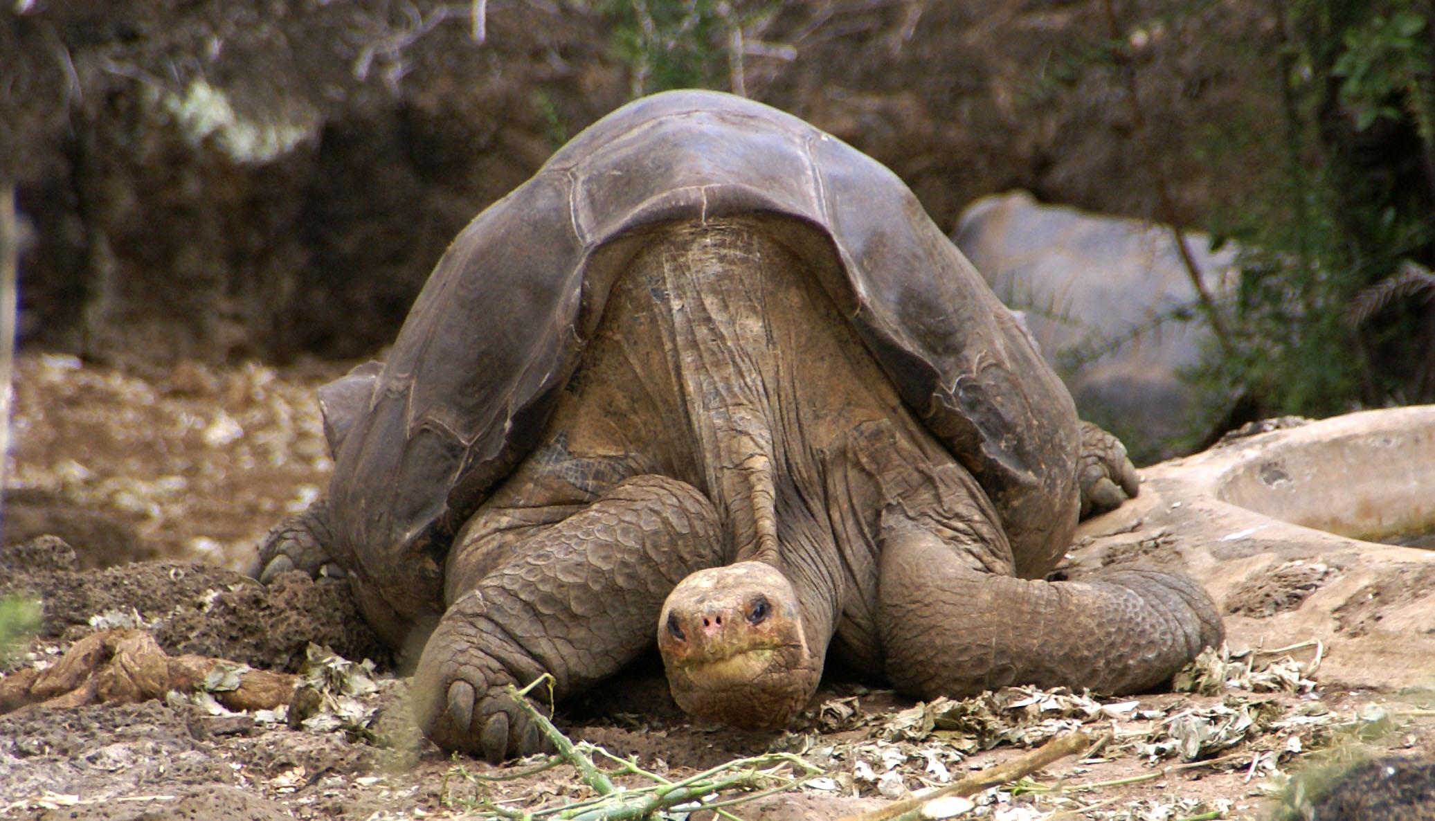찰스다윈연구소에서 쉬고 있는 '외로운 조지'. 2012년에 숨을 거둬 이 거북이 속한 핀타섬육지거북은 지구상에서 자취를 감췄다.