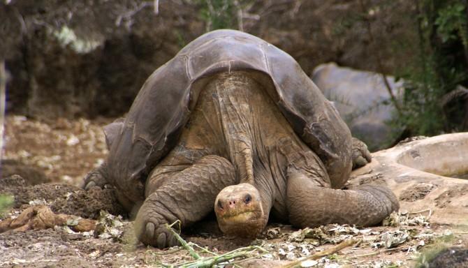 찰스다윈연구소에서 쉬고 있는 '외로운 조지'. 2012년에 숨을 거둬 이 거북이 속한 핀타섬육지거북은 지구상에서 자취를 감췄다. - putneymark(W) 제공
