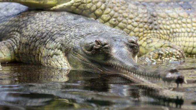 인도의 가비알은 물고기를 전문으로 사냥하는 악어다. 수컷은 최대 몸길이가 6m까지 자라며 몸무게는 160kg까지 나간다. 간혹 뱃속에서 귀금속이 발견돼 사람을 잡아먹었다고 여긴 적도 있다. 하지만 사람이 실수로 흘린 귀금속을 삼켰을 가능성이 높다. - public domain 제공