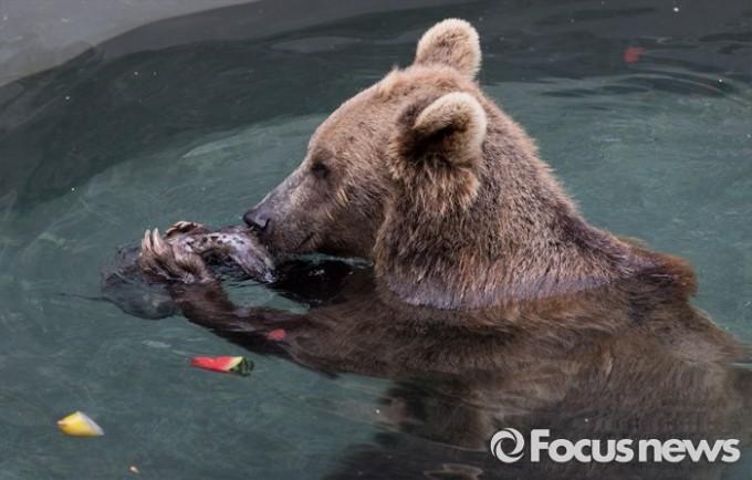 28일 오후 경기도 과천 서울동물원에서 불곰이 얼음과일을 먹고 있다. - 포커스뉴스 제공