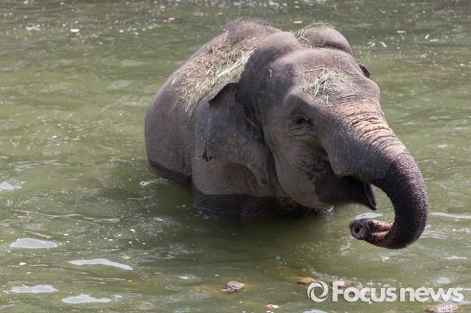 28일 오후 경기도 과천 서울동물원에서 아시아코끼리가 물속에서 더위를 식히고 있다. - 포커스뉴스 제공