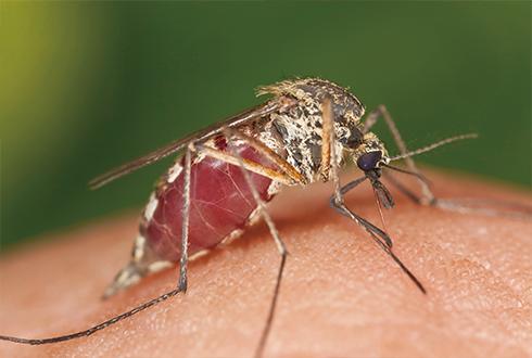 모기에 놀란 백혈구가 바이러스 키운다