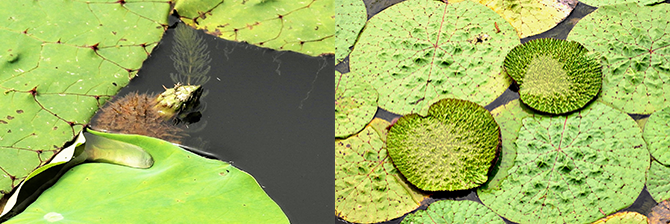 꽃을 피우지 않은 채 종자를 만든 가시연(왼쪽). 쪼글쪼글한 잎이 쫙 펴진다. 잎의 지름은 보통 20~120cm이지만, 최대 2m까지 달하기도 한다(오른쪽). - 고기은, 고종환 제공