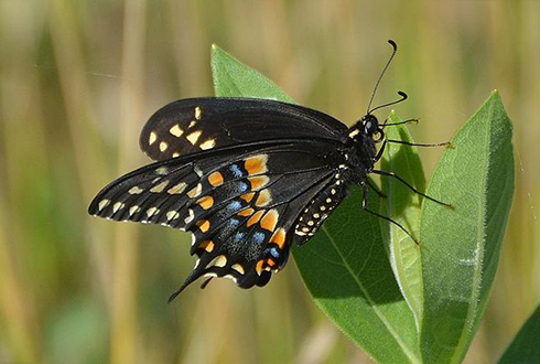 여기가 좋겠어! 앞다리로 잎맛따라 장소 고르는 엄마 나비