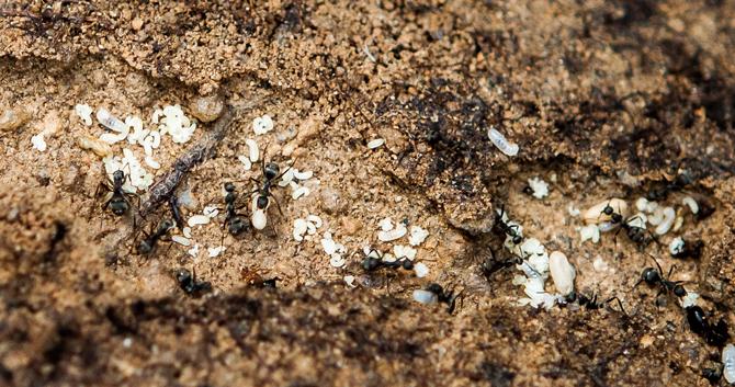 개미들이 고치를 옮기는 모습. - 김은영 기자, 김정 기자 제공