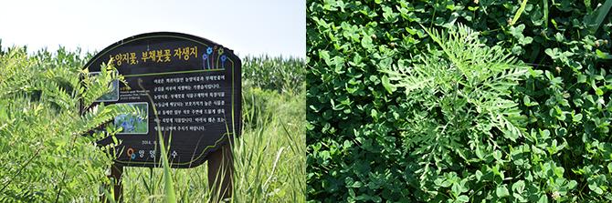 눈양지꽃, 부채붓꽃 자생지라는 걸 안내하는 표지판이 풀숲 사이에 덩그러니 놓여 있다(왼쪽). 알레르기를 일으키는 교란식물인 돼지풀도 곳곳에서 발견되었다(오른쪽). - 고종환 제공