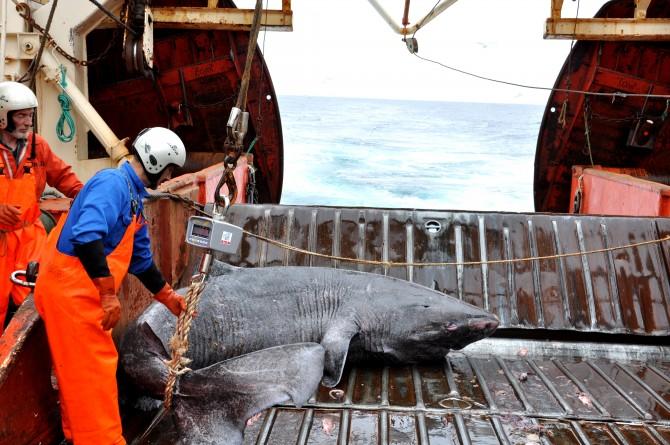 북대서양에서 덴마크 코펜하겐대 연구진이 그린란드 상어 암컷을 잡아 끌어올리고 있는 모습. 그린란드 상어는 최소 400년을 살아 지구상에서 가장 오래사는 척추동물로 떠올랐다. - 사이언스 제공