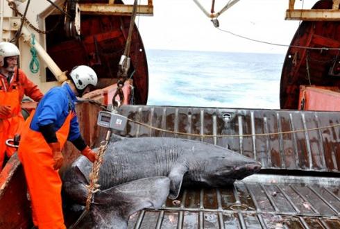 가장 오래 사는 척추동물은 '그린란드상어'