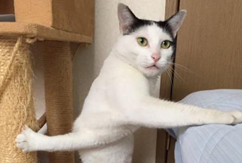 몸이 꼬인 꽈배기 고양이 '인기'
