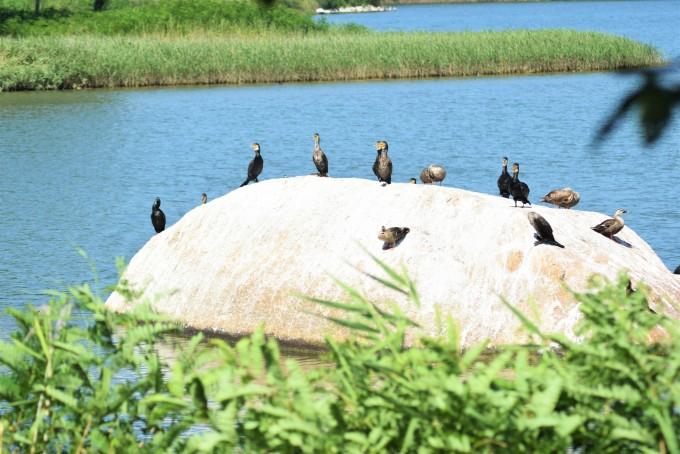 바위에서 휴식을 취하고 있는 철새들. - 고종환 제공
