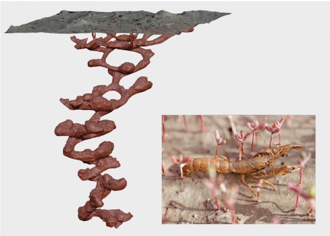 구본주 한국해양과학기술원 책임연구원팀은 갯벌생물의 '서식굴' 형태를 밝혀 본지에 처음 공개했다. 가재붙이의 서식굴은 깊이만 2m에 이르는데, 내부 구조가 개미집처럼 복잡해 굴의 전체 길이는 5~12m, 부피는 4~18L에 이른다.  - 한국해양과학기술원 제공