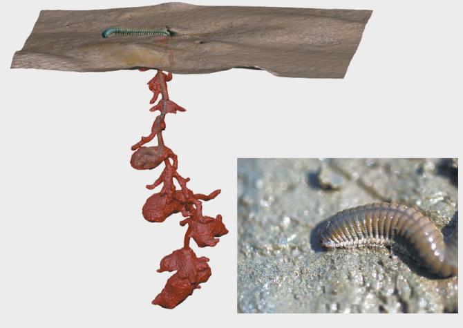 흰이빨참갯지렁이는 굴속에서 몸을 회전하기 위한 공간이 필요해 깊이 1m인 서식굴 곳곳에 큰 방을 만든다. - 한국해양과학기술원 제공