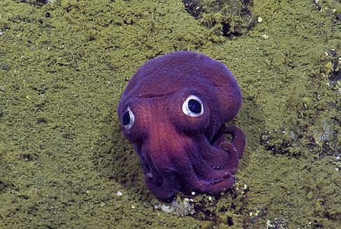 보라색 몸통에 커다란 눈을 가진 주머니귀오징어