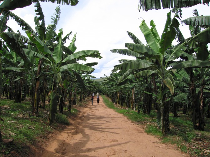 우간다에서는 바나나가 과일이 아니라 주식이다. 해충에 저항성이 있는 GMO 바나나로, 1990년대 말 우간다 사람들은 2년만에 2배 이상의 바나나를 수확했다. - Ali chakera(F) 제공