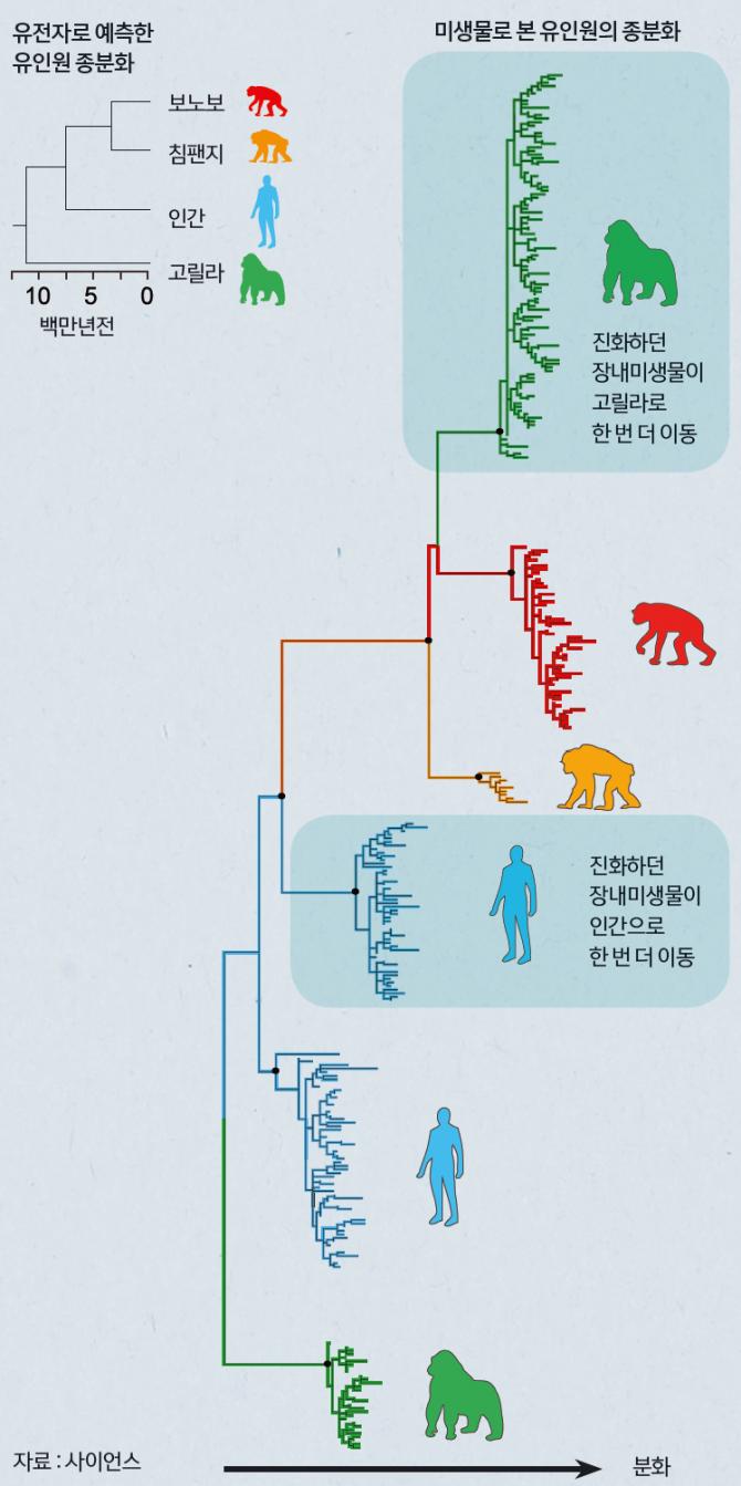 장내미생물과 유인원 공진화 유인원들의 장내미생물(비피도박테리아) 진화를 분석한 결과, 공통조상의 장내미생물이 고릴라, 인간, 보노보, 침팬지 순서로 분화된 사실이 드러났다. 이는 유전자를 통해 예측했던 유인원 종분화와 일치했다. 유인원이 종분화할 때, 미생물도 함께 분화돼 각각 숙주에서 진화해왔다는 뜻이었다. - 과학동아 제공