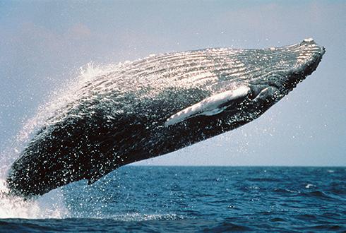 선박이 지나갈 때, 혹등고래는 굶주린다