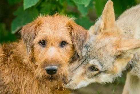 늑대는 용감하게, 개는 소심하게 선택한다