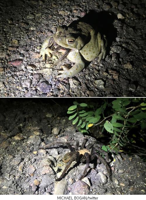 아래는 '두꺼비 입에서 탈출해 달아나는 거미' - 팝뉴스 제공