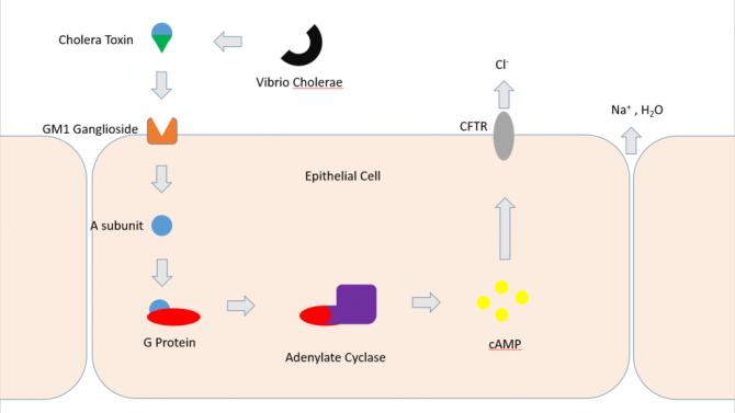 콜레라독소의 작용 메커니즘. 콜레라균이 분비한 독소는 소장 세포 표면의 분자(GM1)에 달라붙고 A단백질(파란 공)이 세포 안으로 들어간다. A단백질은 아데닐사이클라아제를 활성화해 cAMP를 많이 만들게 하고 그 결과 세포와 혈액에서 이온과 물이 장내강으로 분비돼 몸은 극심한 탈수 및 전해질불균형 상태가 된다. - 위키피디아 제공