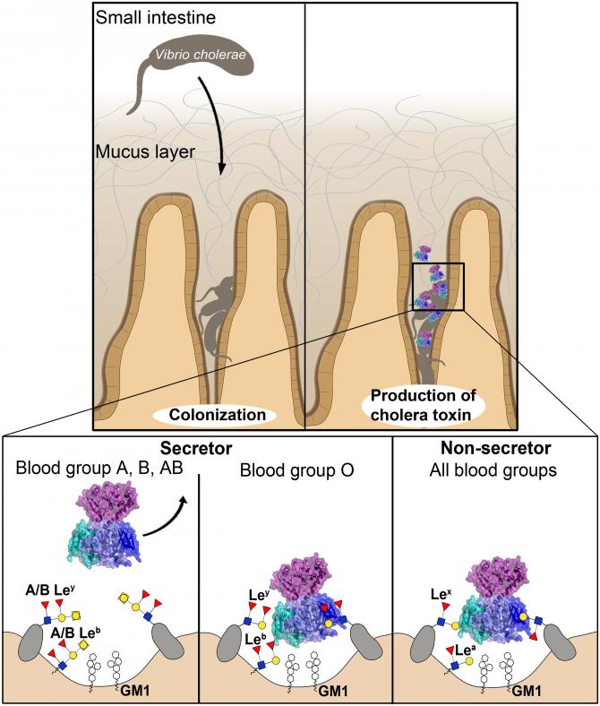 혈액형과 콜레라의 관계. 소장세포(융모) 표면에 있는 당분자는 혈액형에 따라 구조가 다르다. 그 결과 A형과 B형, AB형의 경우 콜레라독소가 잘 달라붙지 않아 타깃인 GM1에 결합하는 걸 방해한다(아래 왼쪽). 반면 O형의 경우 잘 달라붙어 GM1에도 더 쉽게 결합한다(아래 가운데). 한편 인구의 20% 정도는 소장세포 표면에 혈액형을 반영하는 당분자가 온전한 형태로 존재하지 않는다. 이 경우 O형처럼 독소가 GM1에 쉽게 결합한다(아래 오른쪽). - PLOS Pathogens 제공