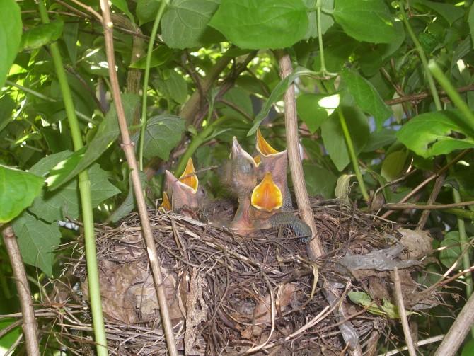 대륙검은지빠귀(Turdus merula) 새끼 간의 치열한 경쟁 - wikimedia commons 제공