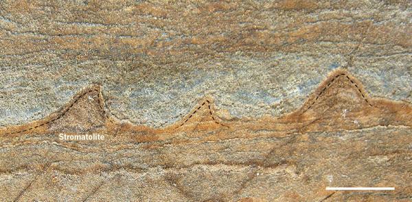 그린란드 이수아 선지각 벨트(Isua supracrustal belt)에서 발견된 37억 년 전 스트로마톨라이트 화석으로 원뿔 형태다. - Allen Nutman 제공