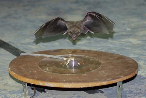 박쥐가 먹잇감을 찾는 방법… 소음 심하면 초음파로