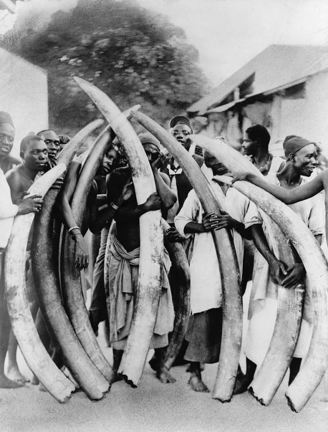 보석의 일종으로 취급되기도 하는 상아 때문에 지난 100년 동안 코끼리 개체수가 95% 이상 줄었다. 오늘날도 매년 코끼리 3만 마리가 밀렵으로 희생되는 걸로 추정된다. 1900년 무렵 탄자니아에서 찍은 사진이다. - 위키피디아 제공