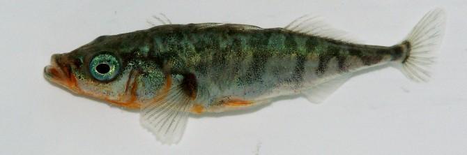 Viridiflavus(W) 제공