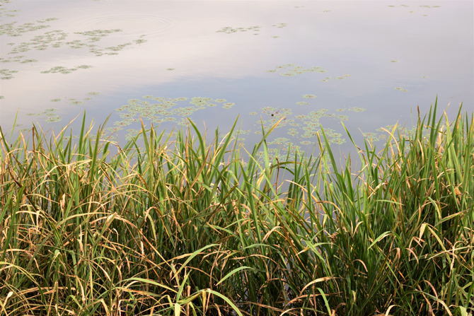 유역면적 0.18㎢의 봉포호. 잔잔한 호수 속 아래는 외래종 때문에 하루하루 전쟁이다. - 고종환 제공