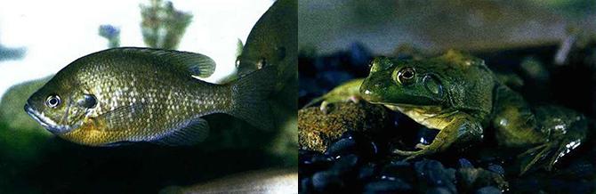 아가미 표면 뒤끝에 파란 점이 있는 것이 특징인 블루길. 파랑볼우럭으로도 불린다(왼쪽). 황소개구리는 곤충, 물고기, 토착 개구리는 물론 뱀까지 닥치는 대로 잡아먹는 탐식성 양서류다(오른쪽). - 환경부, 원주지방환경청 제공