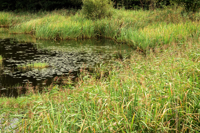 봉포호는 급격한 주변 환경변화로 해수유입이 차단되어 기수호의 특성이 사라졌다고 한다. 갈대 습지로 육화 정도가 심하다. - 고종환 제공
