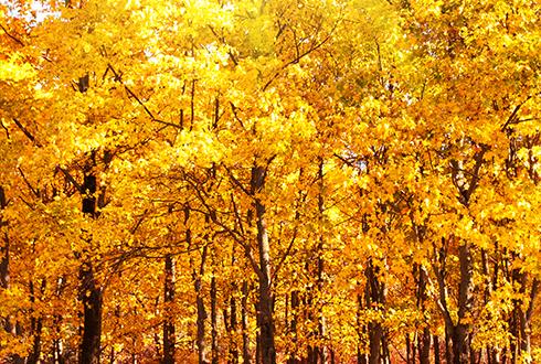 단풍놀이 간 산에 낙엽만 수북… 꽃보다 단풍이 예측하기 어려운 이유
