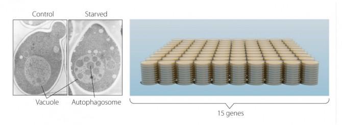 효모(가장 왼쪽)는 액포라는 리소좀에 대응하는 커다란 공간을 가지고 있다. 오스미는 분해 작용에 관여하는 효소가 작동하지 않는 효모를 만들었다. 이 효소 주변에서 영양분을 제거하자, 액포 안에 하얀 점이 마구 늘엇다(중간 그림) - 노벨상 위원회 제공