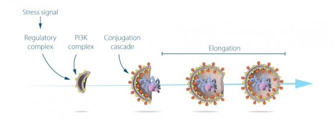 스트레스 신호가 오면 다양한 조절단백질이 자가포식을 일으키기 시작하고, 인지질과 단백질이 모여 점점 세포 속 물질을 둘러싸며 자가포식소체를 형성한다. 자가포식소체는 둘러싼 물질들을 리소좀까지 운반한다. - 노벨상 위원회 제공