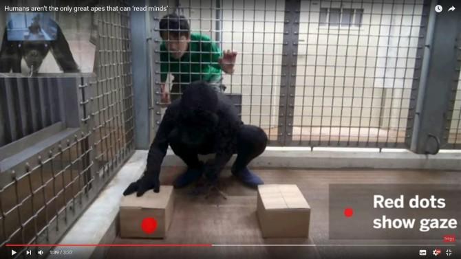 침팬지가 영상을 보고 있다.(왼쪽 상단) 영상 속에선 킹콩 분장을 한 연구원이 돌을 박스 아래에 숨기고 있다. 침팬지는 킹콩이 돌을 숨기는 박스를 보고 있다(빨간점) - 사이언스 제공