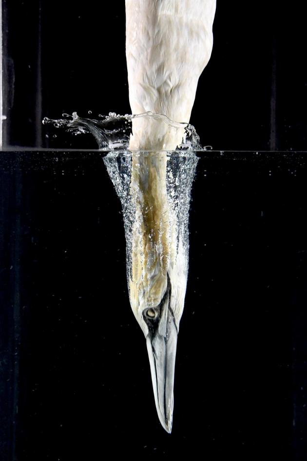 부비새가 물속에 다이빙하는 과정을 고속카메라로 촬영한 모습. 부리를 수면에 수직으로 세우고 목 근육을 재빨리 수축해 머리와 목뼈가 다치지 않도록 보호한다. - 미국국립과학원회보(PNAS) 제공