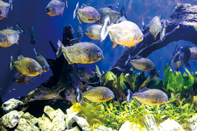 아쿠아 가든에는 피라냐(사진), 파쿠, 피라루크를 비롯해 다양한 아마존의 물고기들이 산다. - 서동준, 아쿠아플라넷63 제공