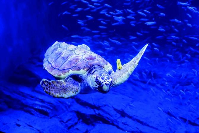 보호대상 해양생물인 붉은바다거북은 정확한 관리를 위해 노란 인식표를 달고 있다. - 서동준, 아쿠아플라넷63 제공