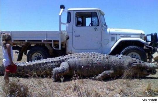 악어인가 공룡인가, 역대급 악어 '화제'