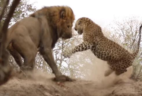 표범을 공격하는 사자 '포착'
